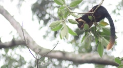 Giant squirrel in tree Stock Footage