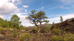 Tenacious Tree In Lava Field- Sunset Crater National Monument Stock Footage