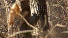 Grey-headed Woodpecker hunting insects in the forest landing on tree Stock Footage