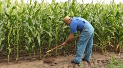 Hoeing corn Stock Footage