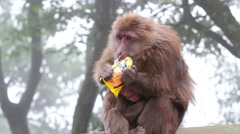 Wild rhesus monkey in Emei mountain at daytime Stock Footage