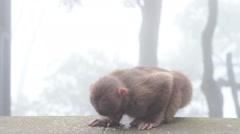 Wild rhesus monkey in Emei mountain at daytime Stock Footage