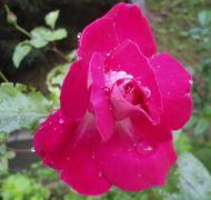 Pink rose with rain drops Kuvituskuvat