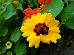 Stock Photo of radiant yellow flower