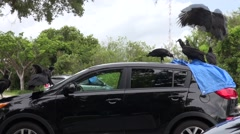 Vultures damaging a car Stock Footage