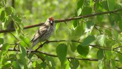Lesser Redpoll in tree Stock Footage