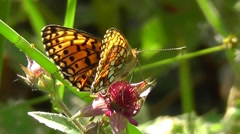 Small Pearl-bordered Fritillary / Silver-bordered Fritillary Stock Footage