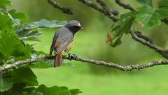 A male common Redstart sitting on a branch, looking around and quivers its tail Stock Footage