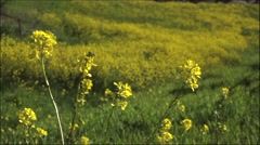 Yellow wildflowers in field nature Stock Footage