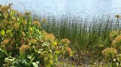 Reeds wildflowers sway breezes lake water ripples Stock Footage