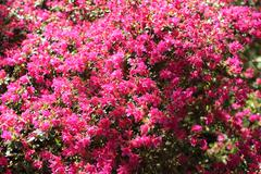 Pink azalea blooming bush Stock Photos
