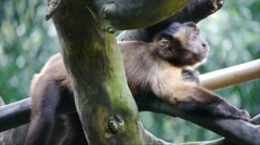 Capuchin Cute Pose - stock footage