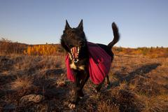 pack dog, sled dog, alaskan husky with back pack, fall colours, indian summer - stock photo