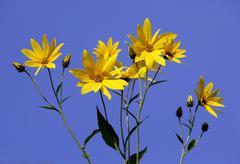 jerusalem artichoke (helianthus tuberosus), flowers - stock photo