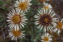 carline thistle (carlina vulgaris), flowering, niederlemb, hesse, germany, eu - stock photo