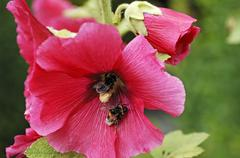 Stock Photo of two bumblebees (bombus) covered in pollen on a hollyhook (alcea rosea)