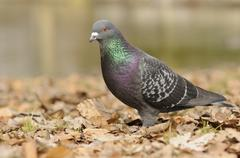 Street pigeon (columba livia forma domestica) Stock Photos