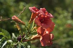 Chinese trumpet vine (campsis grandiflora), inflorescence, leptokaria, greece Stock Photos