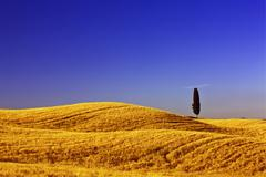 Solitary cypress (cupressus) in corn field near terrapille, pienza, tuscany,  Stock Photos