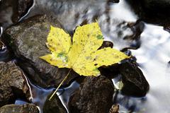 maple leave (aceraceae) lying on rock in a creek in wutachschlucht ravine in  - stock photo