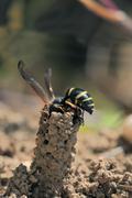Stock Photo of spiny mason wasp (odynerus spinipes)