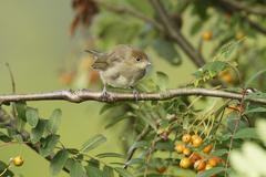 blackcap (sylvia atricapilla), young bird perched on tree branch, waiting to  - stock photo