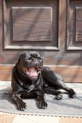 Black pug yawning, lying in front of the front-door in the sunshine Stock Photos