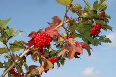 water elder, european cranberrybush (viburnum opulus), bearing fruit, allgaeu - stock photo