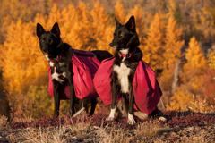 Pack dogs, sled dogs, alaskan huskies with back packs, quaking aspen, trembli Stock Photos