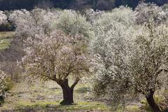 blossoming almond (prunus dulcis) trees, randa, majorca, balearic islands, sp - stock photo