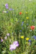 summer meadow, cornflower (centaurea cyanus), yarrow (achillea), mallow (malv - stock photo