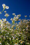 daisies (bellis) against blue sky - stock photo