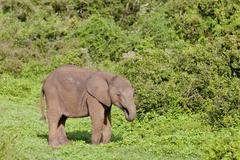 African elephant (loxodonta africana) at the addo elephant park, south africa Stock Photos