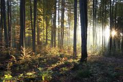 Common beeches (fagus sylvatica), sunrise in a beech forest in autumn, allgae Stock Photos