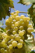 White grapes (vitis vinum), malvasia, dalmatia, croatia, europe Stock Photos