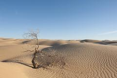 Stock Photo of solitude, scrawny bush, sand dunes, sahara desert between douz and ksar ghila