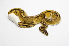 pastel piebald ball python or royal python (python regius), female - stock photo