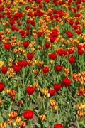 Flower bed with tulips of the red gorgette and colour spectacle varieties, du Stock Photos