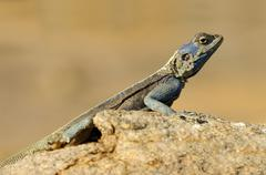 Stock Photo of southern rock agama, knobel's agama (agama atra), male, goegap nature reserve
