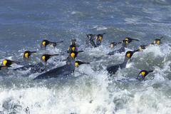 King penguins (aptenodytes patagonicus), swimming, south georgia, subantarcti Stock Photos