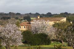 blossoming almond trees (prunus dulcis), porto cristo, majorca, balearic isla - stock photo