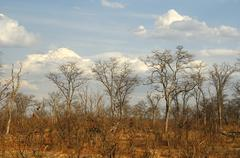 Stock Photo of leafless leadwood trees (combretum imberbe) during the winter dry season, mor