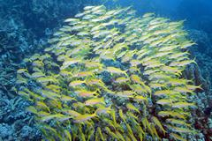 yellowfin goatfish (mulloidichthys vanicolensis), marsa alam, egypt, africa - stock photo
