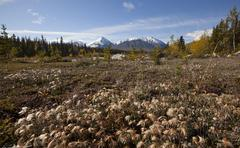 cotton grass at quill creek, autumn, fall colours, indian summer, st. elias m - stock photo