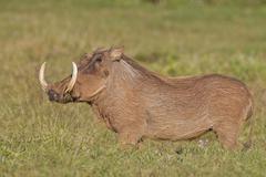 Stock Photo of warthog (phacochoerus africanus) at addo elephant park, south africa