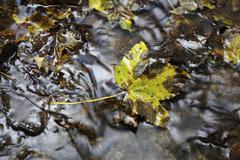 maple leaves (aceraceae) lying on rocks in a creek in wutachschlucht ravine i - stock photo