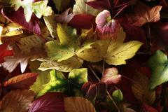 autumn-coloured leaves of various deciduous trees - stock photo