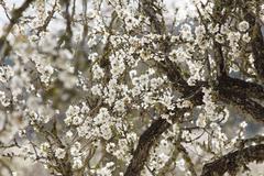 blossoming almond (prunus dulcis) trees, majorca, balearic islands, spain, eu - stock photo