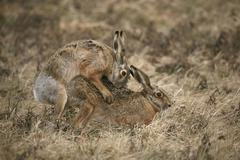 Hares (lepus europaeus) mating, allgaeu, bavaria, germany, europe Stock Photos