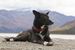 Sled dog, mix breed sprint, long distance dog, alaskan husky, resting, autumn Stock Photos
